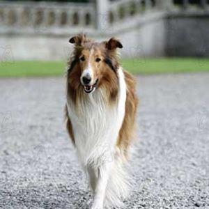 Vi som har levd noen år husker Lassie, men det kan virke som om bikkja har plukket opp noen nye...